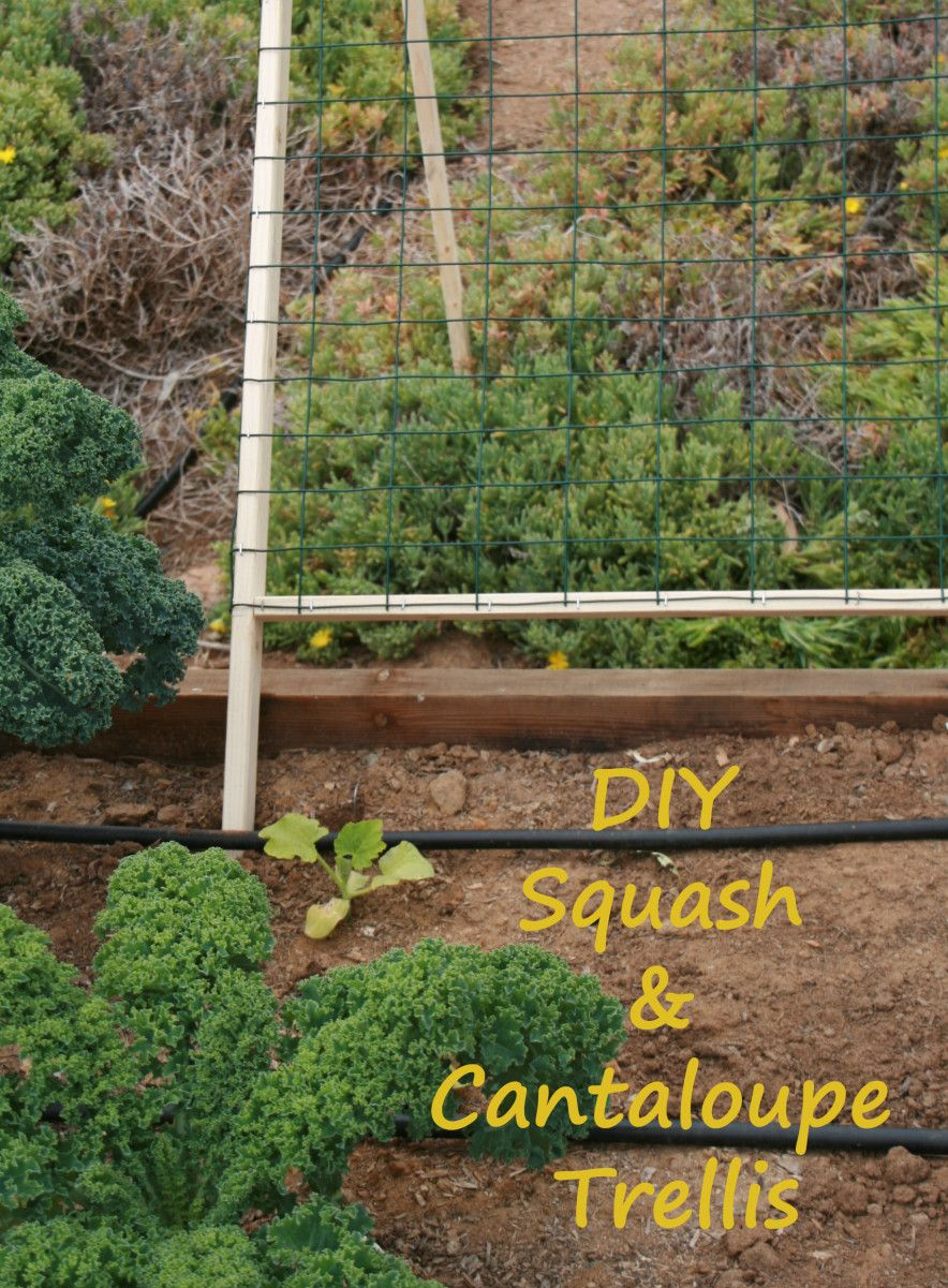 Vertical Gardening Trellis for butternut squash and