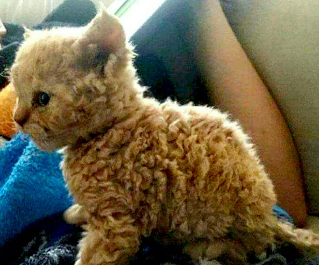 Curly Haired Cat Curly Haired Cat Animals Kittens