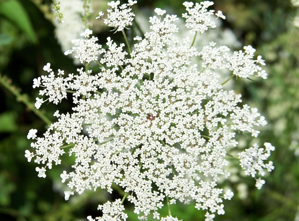 Free Image on Pixabay - Flower, Queen, Anne, Lace, Weed