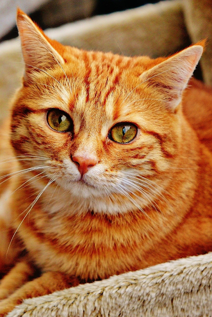 Orange Tabby Cat Wallpapers in 2020 Cat care, Cats