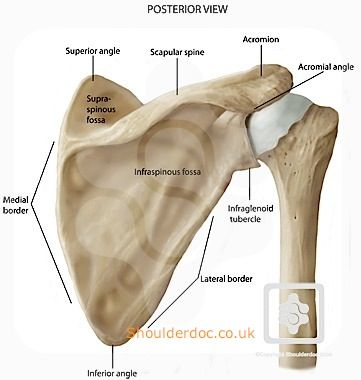 bones & joints of the shoulder | shoulderdoc | my field of work, Cephalic Vein