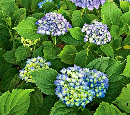 Hydrangea Cityline Rio A More Compact Hydrangea For Small Spaces Grows 2 3 White Flower Farm Flowers Direct Hydrangea Varieties