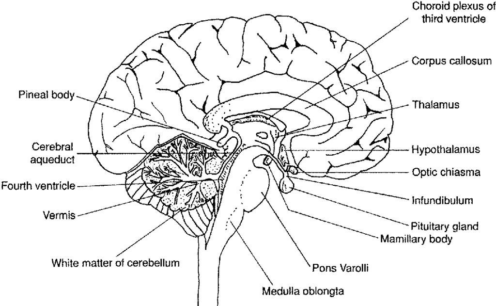labeled fetal pig brain sheep brain diagram