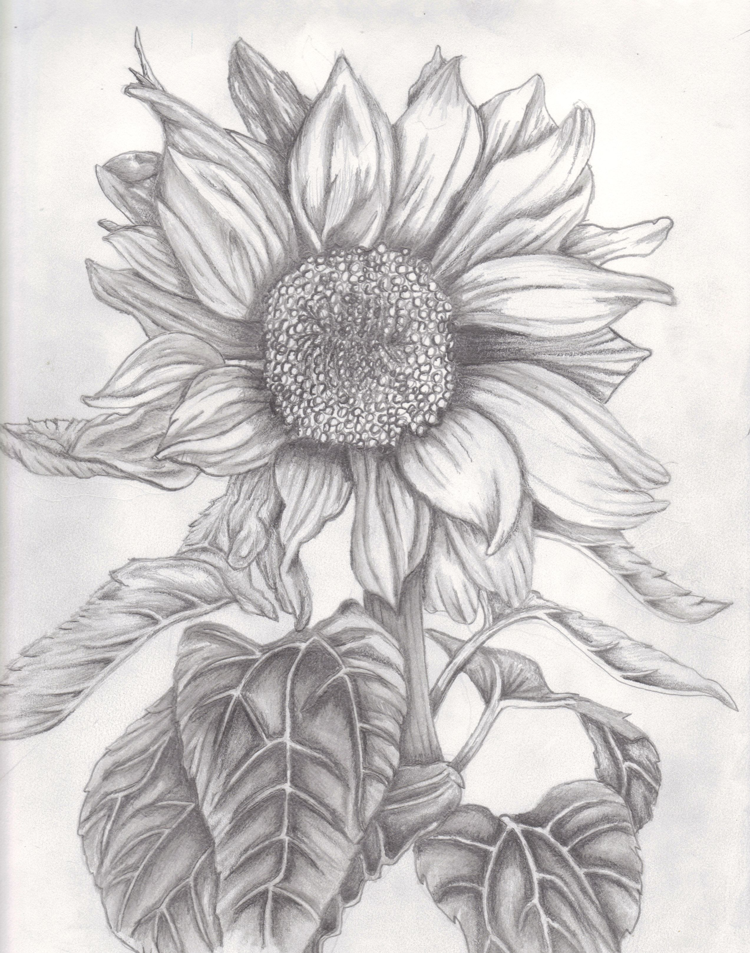 Tumblr Sunflowers Drawing 1000 Images About B Frangi And More On Pinterest