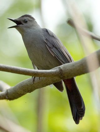 Gray Catbird Color Pattern Catbirds Give The Impression Of Being Entirely Slaty With A Closer Look Youll See Small Black Cap Blackish Tail