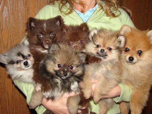 Fluffballs Aka Pomeranians Love Them All Cute Pomeranian Cute Animals Dog Died
