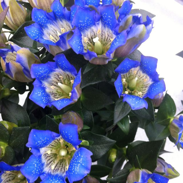 Er is vandaag meer licht dan gisteren want de gentiana gaat open #flowertrials