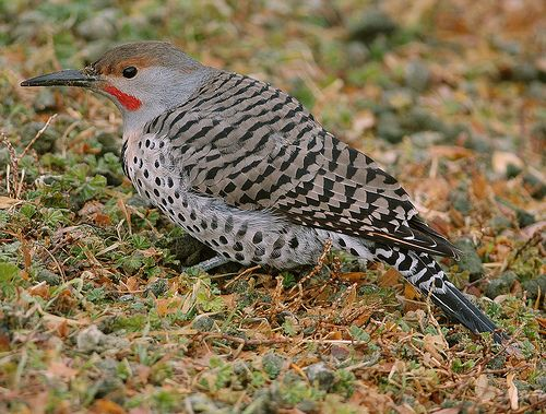 flicker bird | northern flicker red shafted yellow shafted intergrade rancho san ...