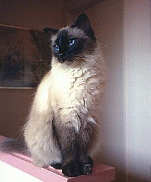 Pin By Joanne Pelletier On Painting In 2020 Balinese Cat Cat Facts Purebred Cats