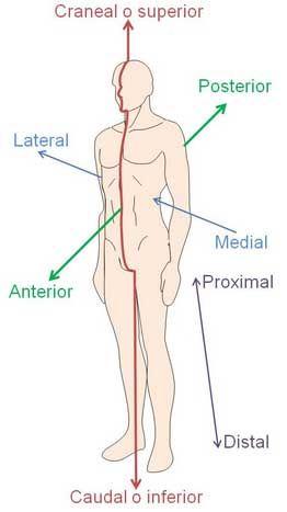 La posición anatómica es una posición estándar que se utiliza para ...