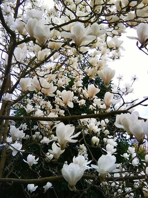 Rose Marie Magnolia Is A Fantastic New Hybrid Valued For Its Prolific Very Late And Long Blooming Ha Magnolia Tree Landscaping Magnolia Trees Flowering Trees