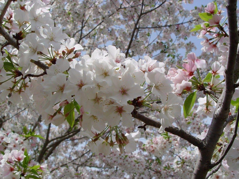 Flowering Cherry Trees Types Pink Flowering Trees White Flowering Trees Flowering Trees