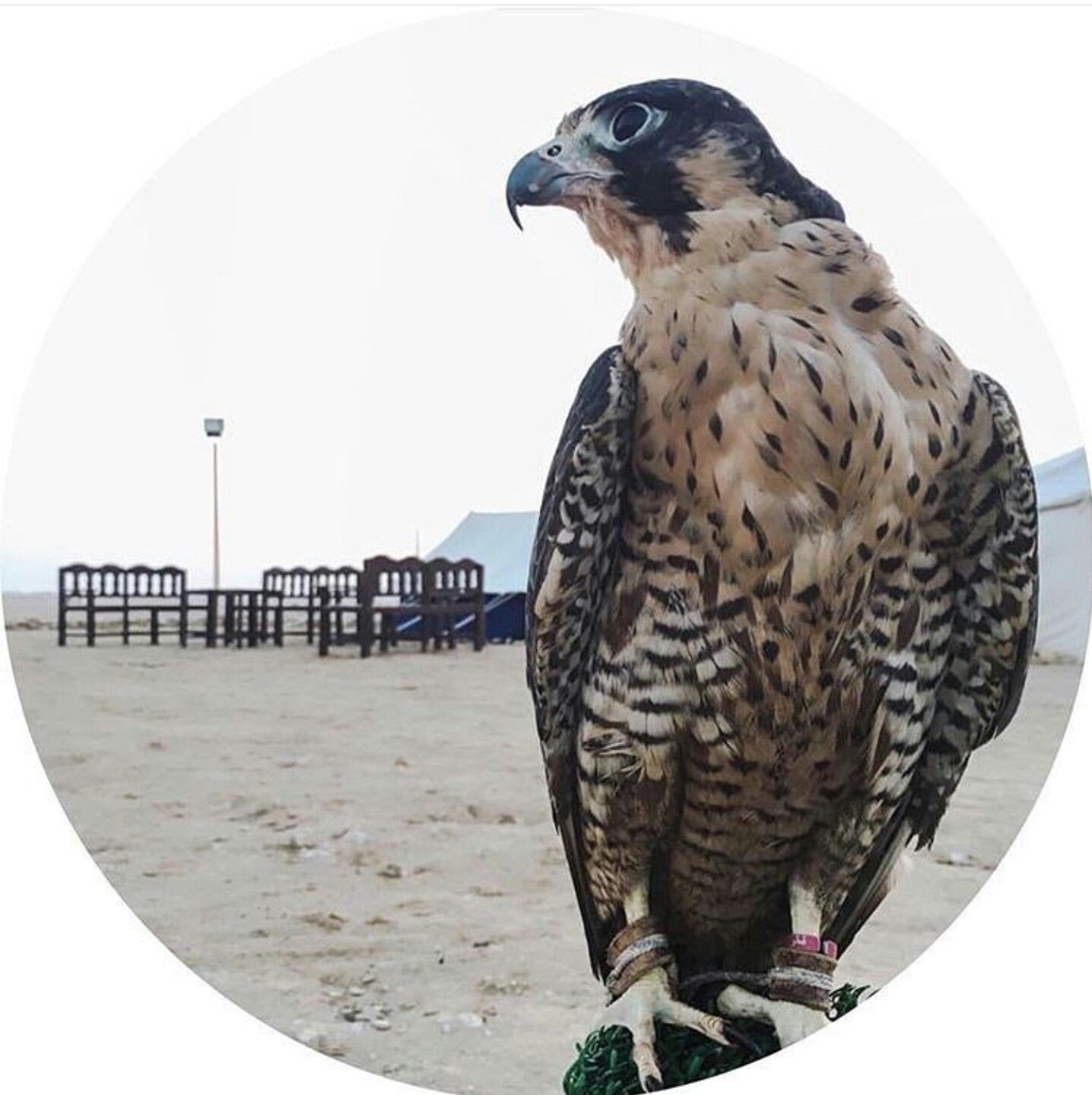 Pin By The Chaldaeans On Royal Falconry The Art Of Hunting Profile Picture Pictures Instagram Story