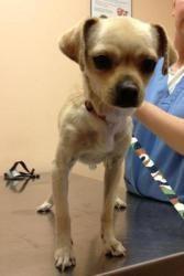 Grace Kelly Is An Adoptable Pug Dog In Elgin Il Meet Grace Kelly