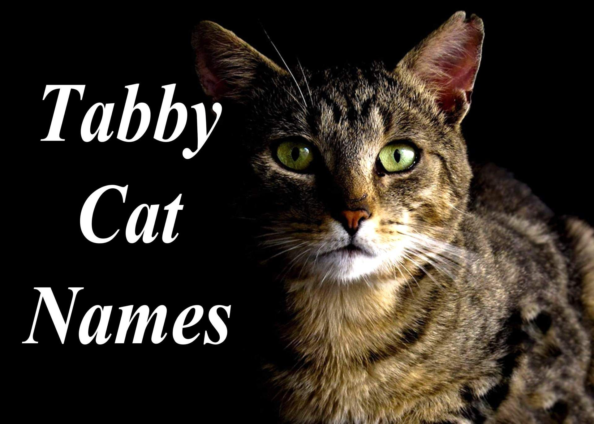 The 100 Best Male And Female Tabby Cat Names Tabby cat