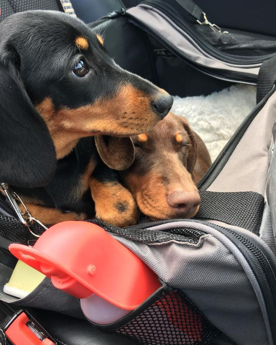 Cute Dachshund Puppies If You Love Dachshunds Visit Our Blog