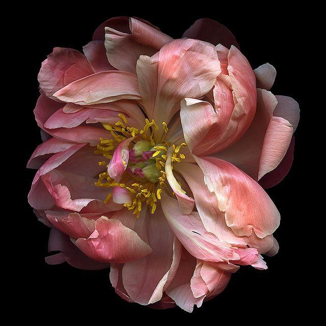 WILD THING… PEONY   Цветочные картины, Розовые пионы и ...