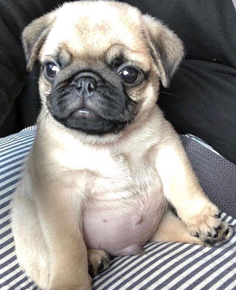 Pugs On Baby Pugs Cute Pug Puppies Cute Pugs