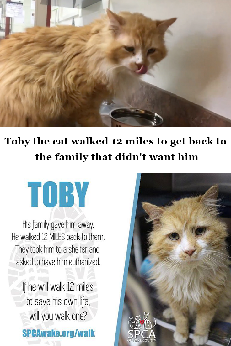 Toby The Cat Walked 12 Miles To Get Back To The Family That Didn T Want Him Cats Cat Walk Cat And Dog Memes