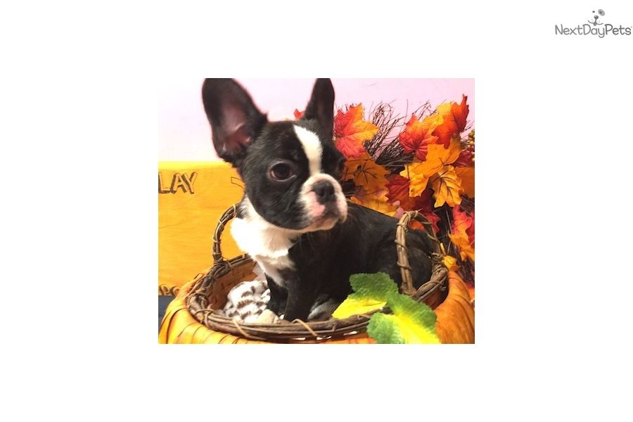 Crios French Bulldog Puppy for Sale in Queens NY | French ...