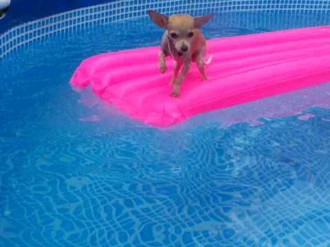 Swimming Chihuahua Chihuahua Puppies Baby Chihuahua Puppy Find
