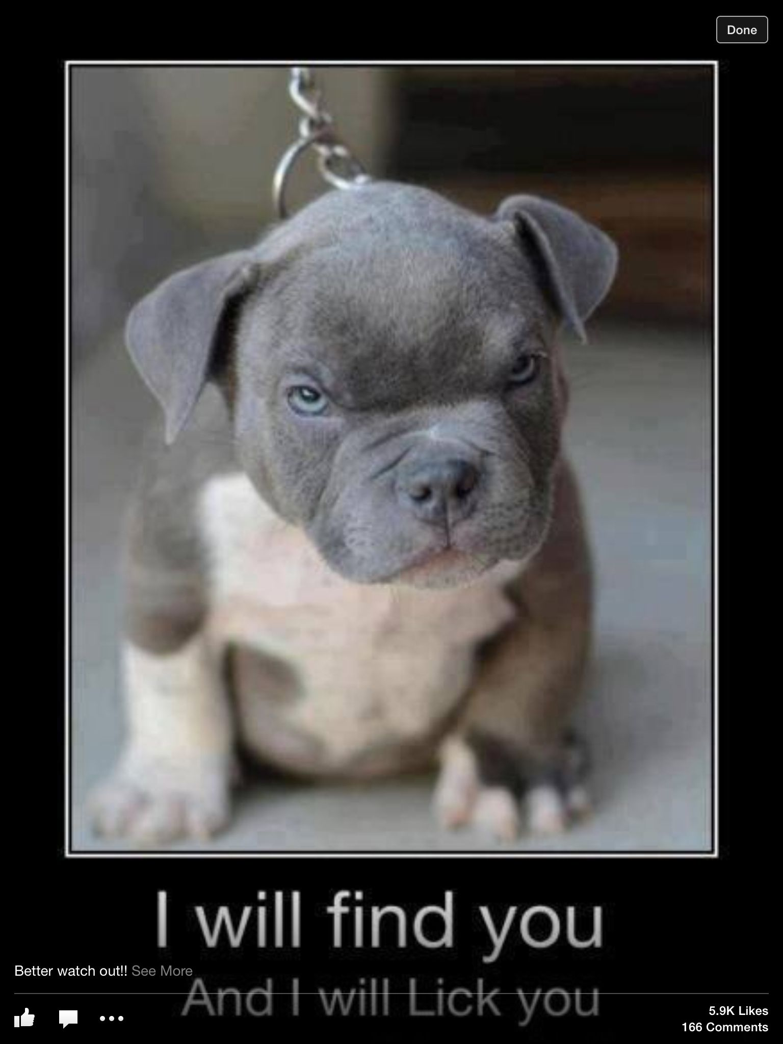 Mad Little Pup Pup Haha Cute Pitbull Puppies Cute Animals