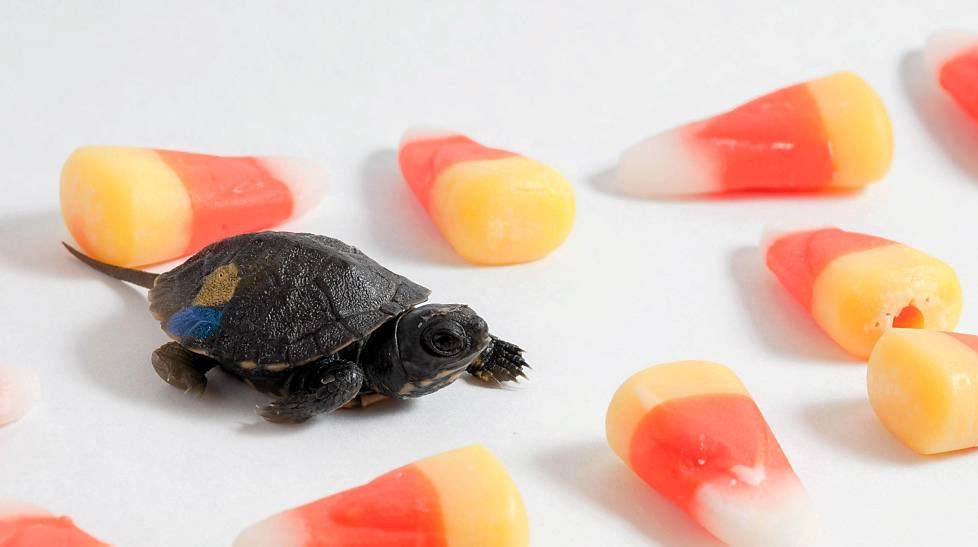 tiny turtle too