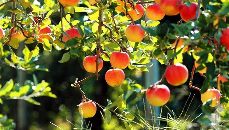 How To Plant Bare Rooted Fruit Trees The Prepper Journal Fruit Garden Fruit Trees Fruit Wallpaper