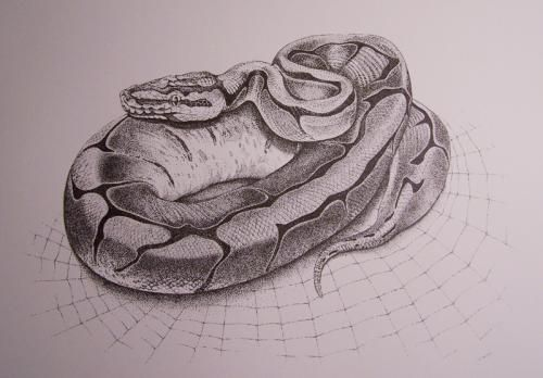 Gallery For Ball Python Drawing Python Drawing Snake Tattoo Design Drawings