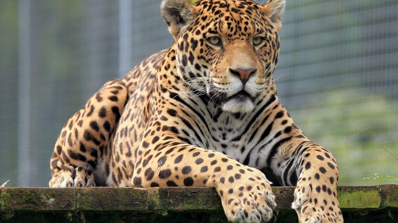 Обои леопард, Кошка, морда. Кошки foto 11