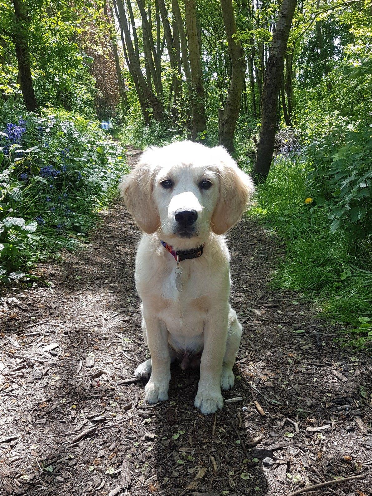 16 Week Old Golden Retriever Puppy Ollie Old Golden Retriever