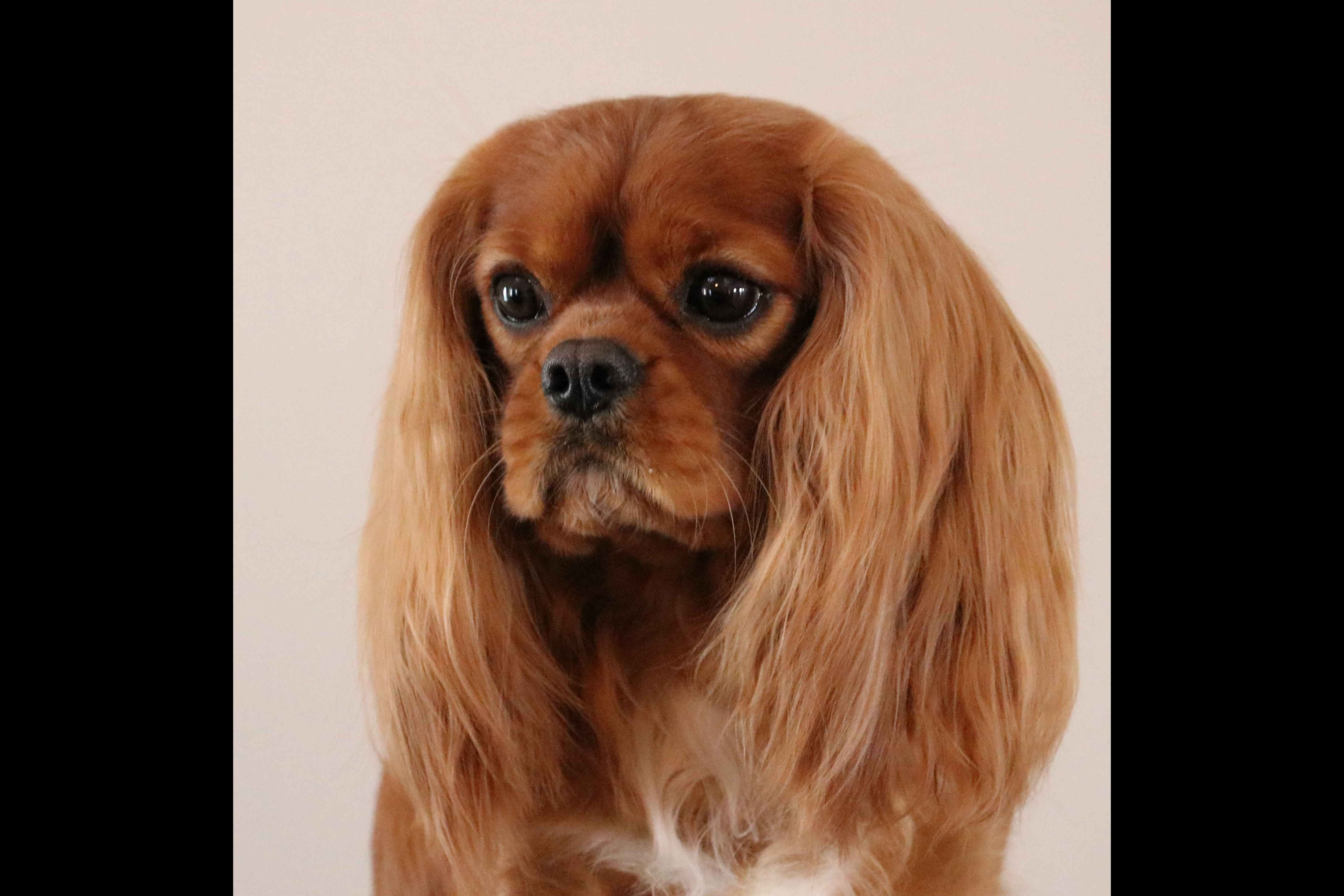 Suzanne Oliver Has Cavalier King Charles Spaniel Puppies For Sale In Ringgold Ga Spaniel Puppies For Sale King Charles Cavalier Spaniel Puppy Spaniel Puppies