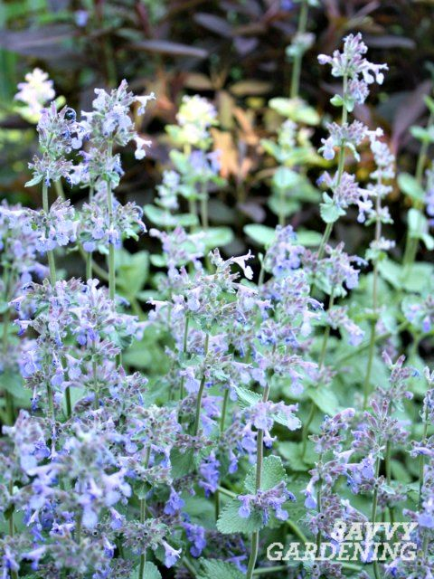 10 of the longest flowering perennials for your garden perennials catmint is one of the longest flowering perennials mightylinksfo