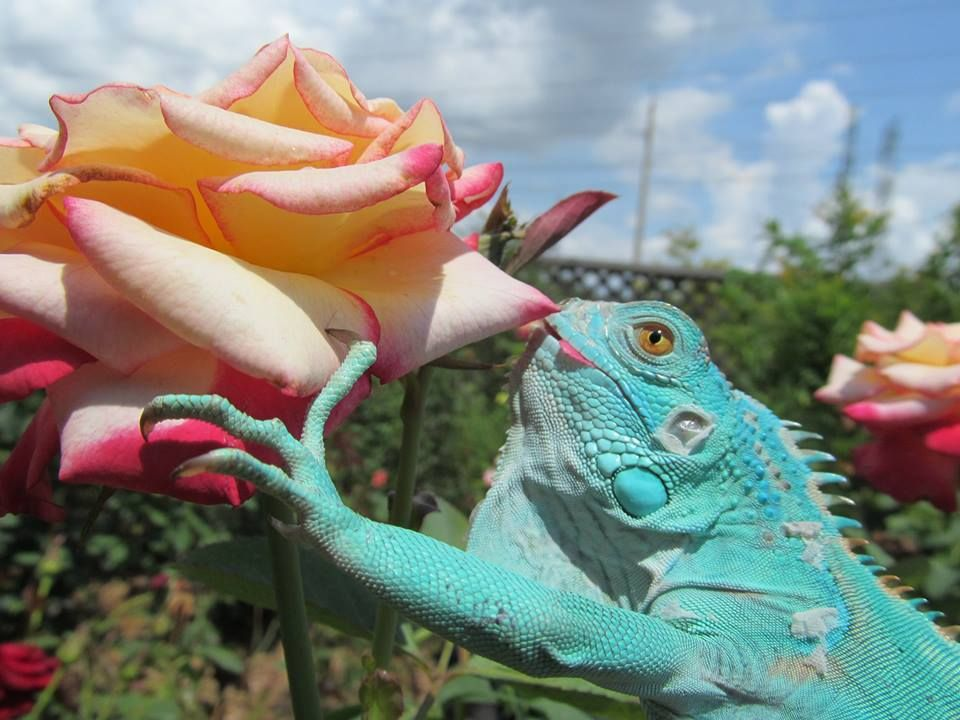 Blue Iguana For Sale : How cool this is the axanthic blue iguana blue iguanas are a