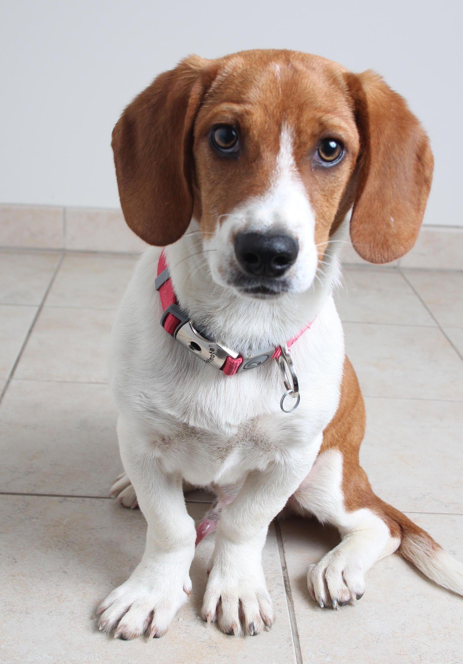 Doxle dog for Adoption in Eden Prairie, MN. ADN535997 on