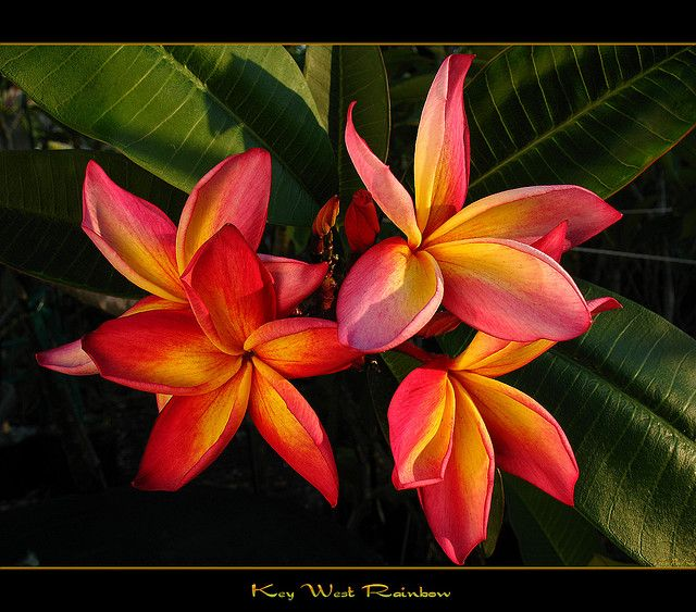 Florida Flowers - The Plumeria Key West Rainbow by mad plumerian, via Flickr