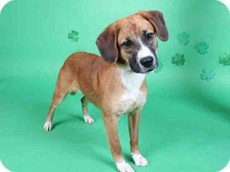 Louie Louisiana German Shepherd Dog Foxhound Mix German