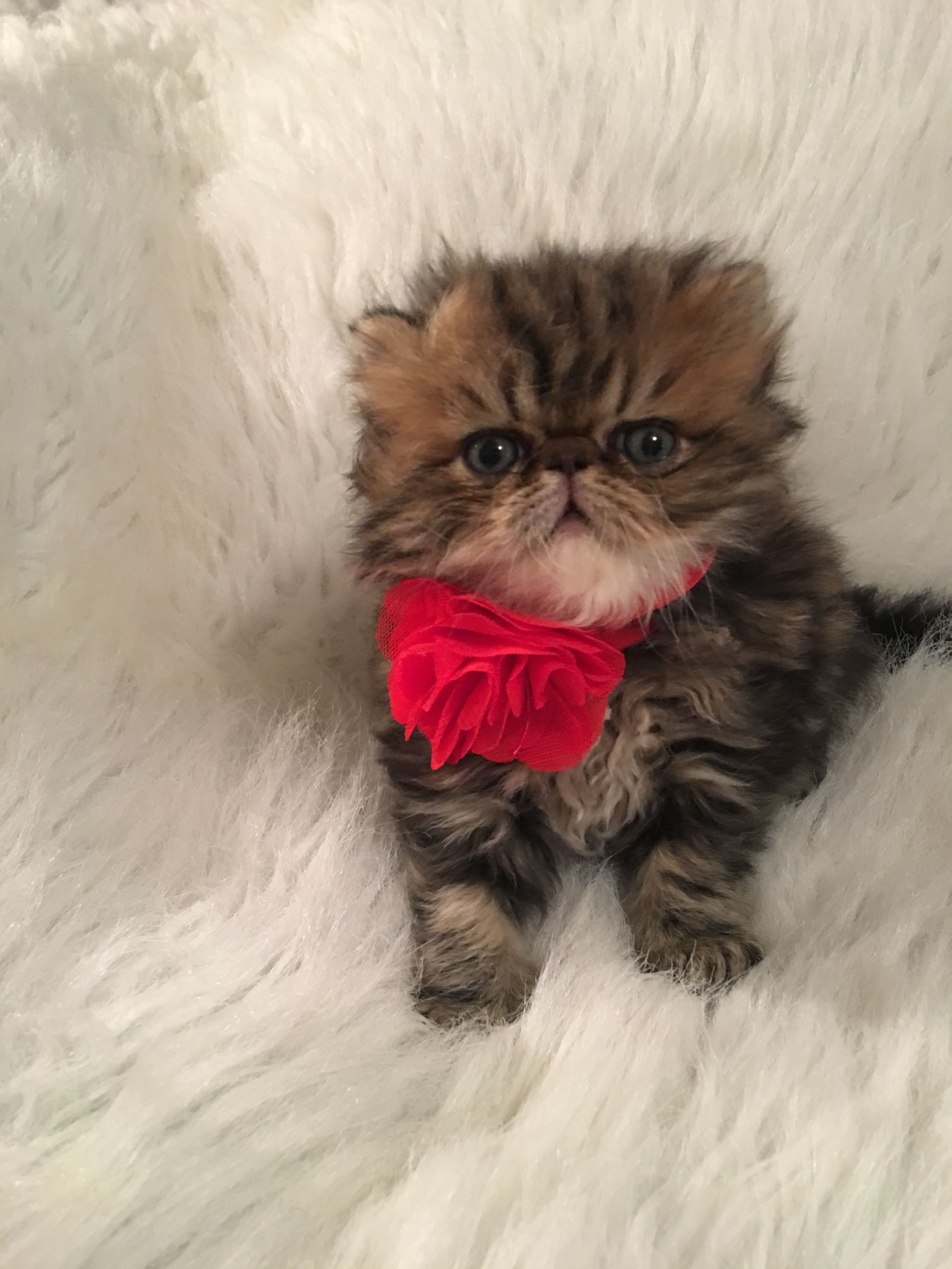 Pin By Pam Ferguson Mccloud On Cats Persian Cat Cats Meow Kittens