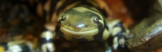 Salamandra tigre (Ambystoma tigrinum)