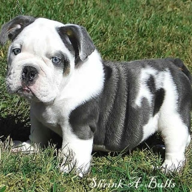 Blue English Bulldog In Love With This Dog With Images
