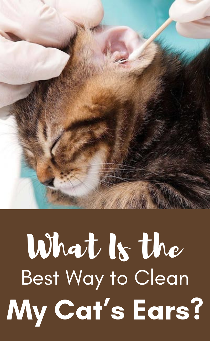 What Is The Best Way To Clean My Cat S Ears Clean Cat Ears Cat Ears Cats