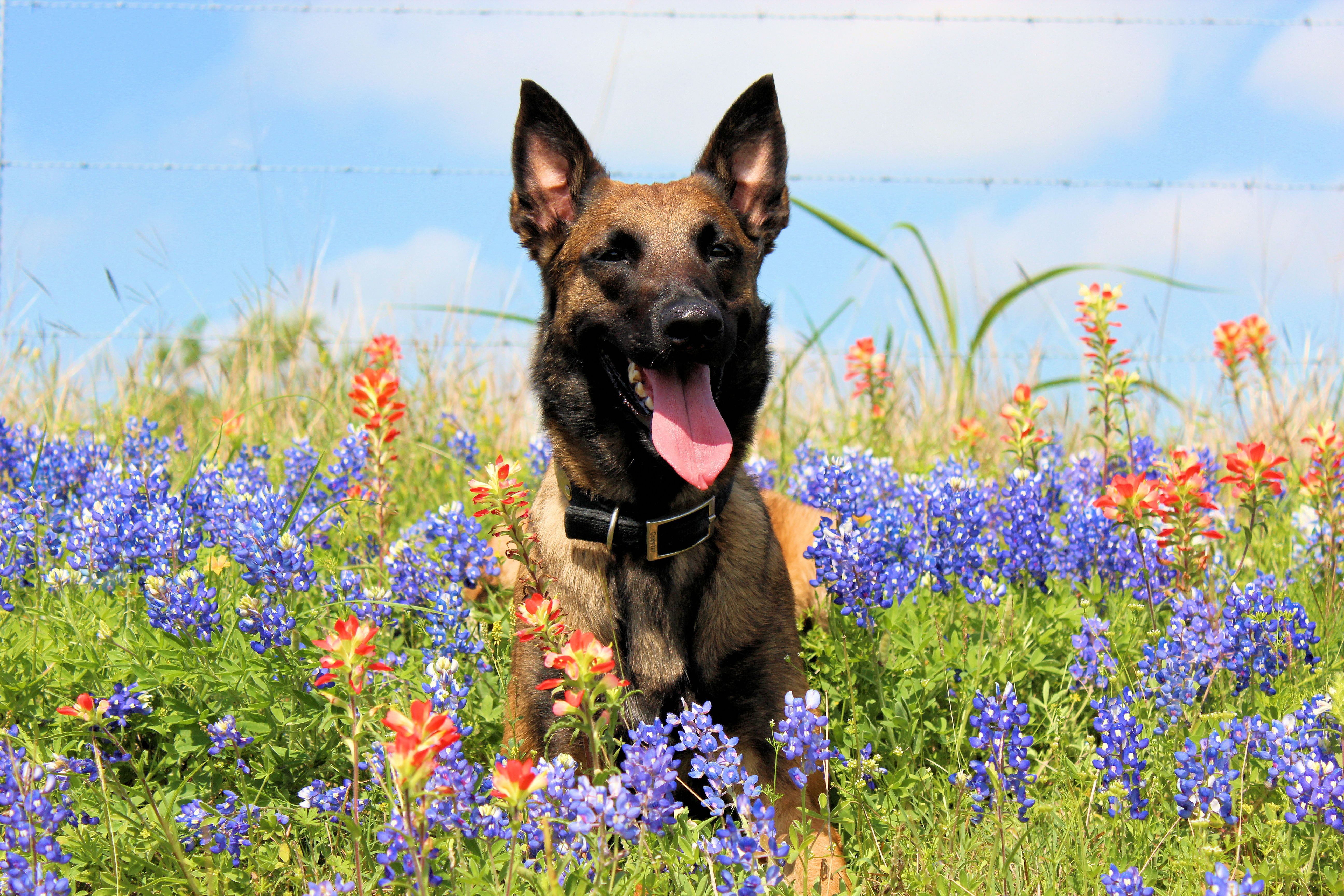 Sacha, a Belgian Malinois, in the Texas