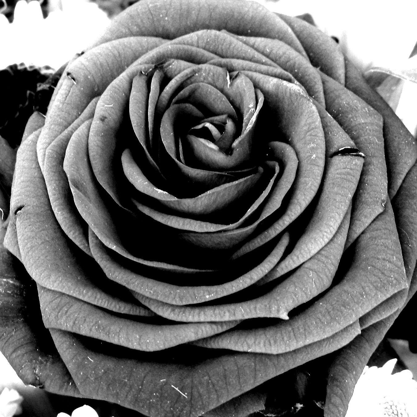 rosa en escala de grises