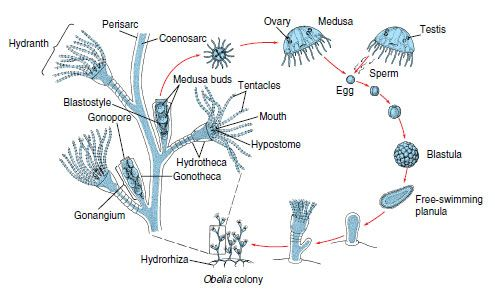 Hydra Life-cycle | Jellyfish and Hydra Life-Cycles | Pinterest