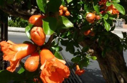 Blüte des Granatapfels