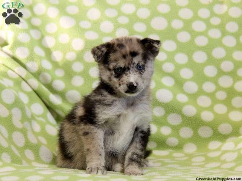 Omg Pomsky Puppy Pomsky Puppies Pomsky Puppies For Sale Puppies
