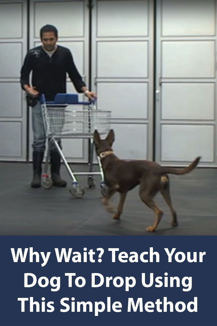 Teach your dog to drop this is the first step for many