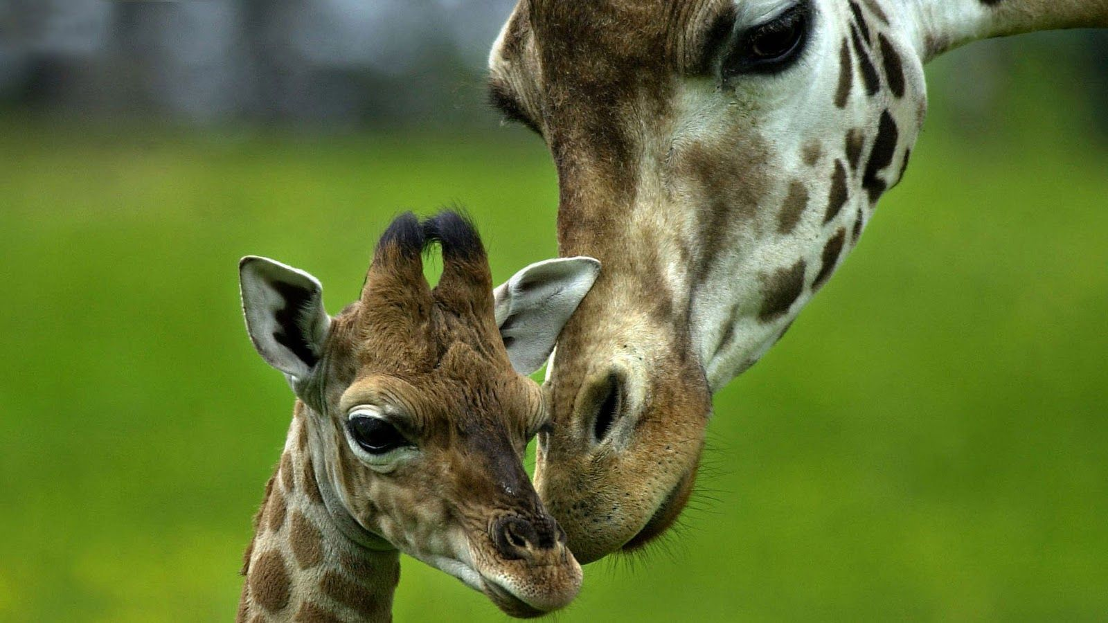Pictures Giraffe Wallpapers