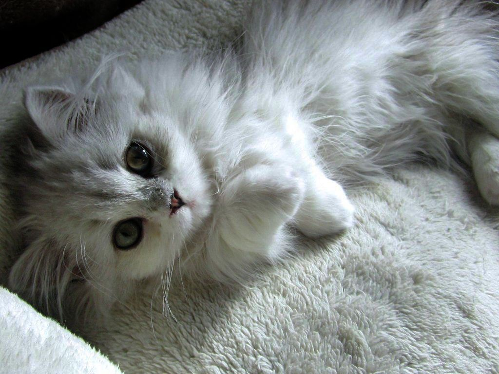 Cats And Kittens Perth Region Cats And Kittens Glasgow Angora Cats Beautiful Cats Cute Cats