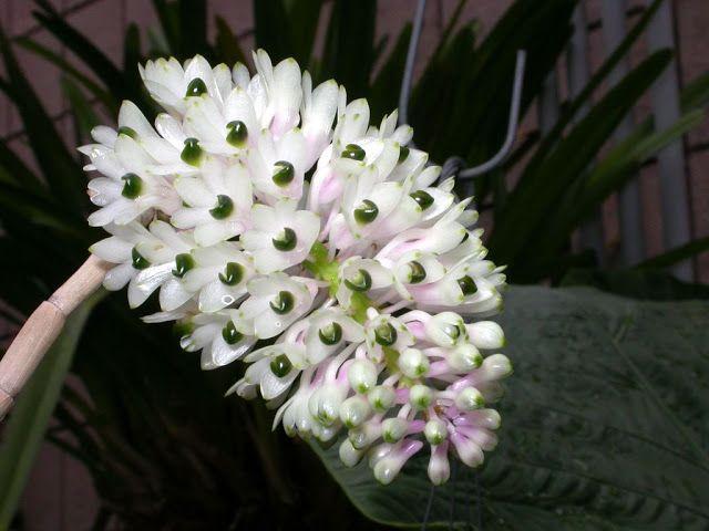 Blog Multiflora: Orchid Dendrobium Smilliae